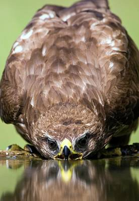 Buzzard Wall Art - Photograph - Common Buzzard Drinking by John Devries/science Photo Library