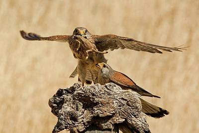 Birds Of Israel Photograph - Common Kestrel (falco Tinnunculus) by Photostock-israel