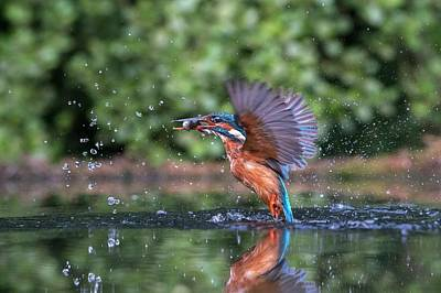 Kingfisher Wall Art - Photograph - Common Kingfisher Catching A Fish by Dr P. Marazzi