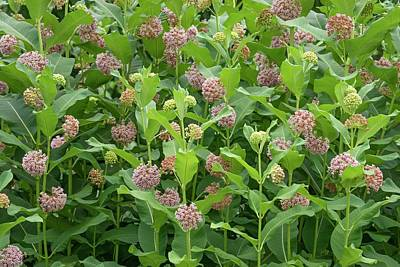 Milkweed Photograph - Common Milkweed (asclepias Syriaca) by Dr. Nick Kurzenko