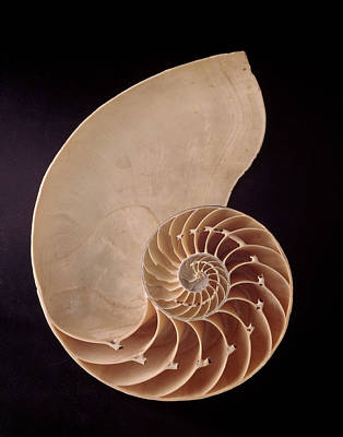 Whorl Photograph - Common Nautilus by Natural History Museum, London