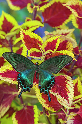 Coleus Photograph - Common Peacock Swallowtail Butterfly by Darrell Gulin