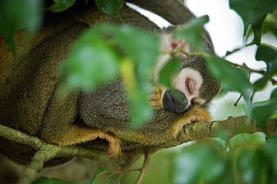 Common Squirrel Monkey (saimiri Sciureus Art Print