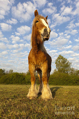 Photograph - Comtois Horse by M Watson