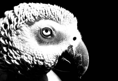 Photograph - Congo African Grey 2 by Paulina Szajek