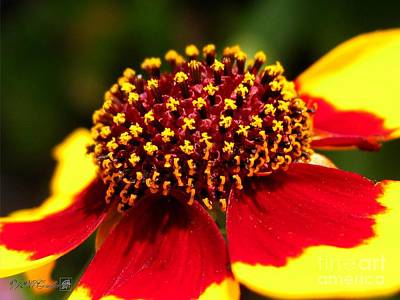 Photograph - Coreopsis Or Golden Tickseed by J McCombie