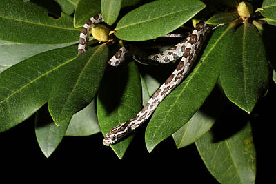 Corn Snake Photograph - Corn Snake Pantherophis Guttatus by David Kenny