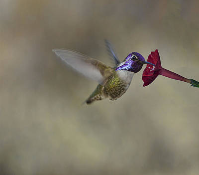 Photograph - Costas Hummingbird by Gregory Scott