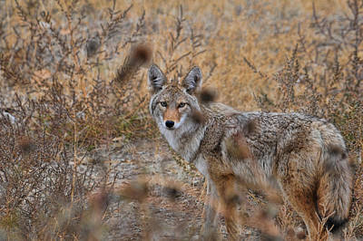 Photograph - Coyote Eyes by David Armstrong