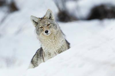 Coyote In Winter Art Print