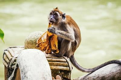 Banana Photograph - Crab-eating Macaque by Paul Williams