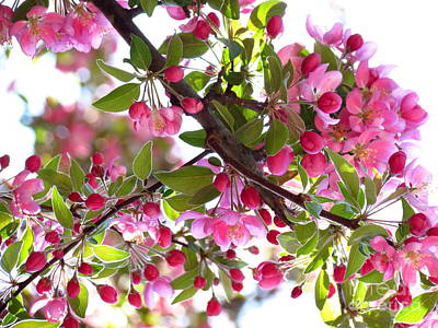 Photograph - Crabapple by France Laliberte