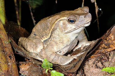 Bufonidae Photograph - Crested Forest Toad by Dr Morley Read