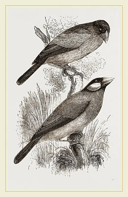 Crossbill Drawing - Crossbills by Litz Collection