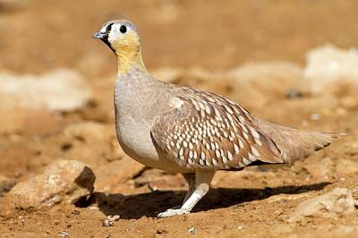 Arid Life Photograph - Crowned Sandgrouse Pterocles Coronatus by Photostock-israel