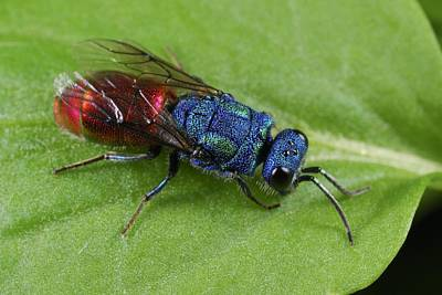 Iridescent Photograph - Cuckoo Wasp by Science Photo Library