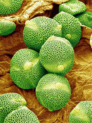 Photograph - Sem Of Cucumber Pollen by Susumu Nishinaga