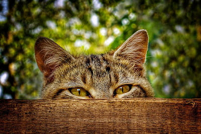Photograph - Curious Cat by Barry O Carroll