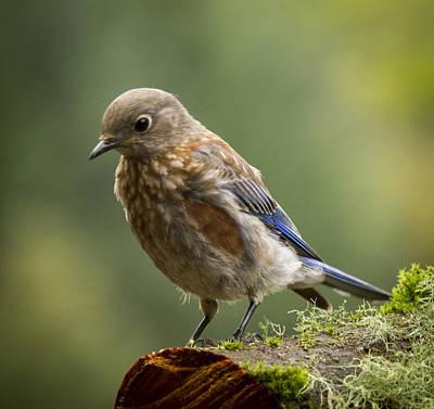Photograph - Curious Bluebird By Jean Noren by Jean Noren