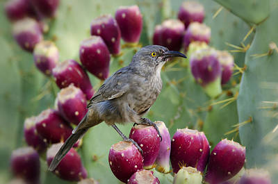 Photograph - Curve Billed Thrasher  by Saija  Lehtonen