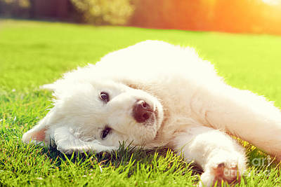 Canine Photograph - Cute White Puppy Dog Lying On Grass by Michal Bednarek