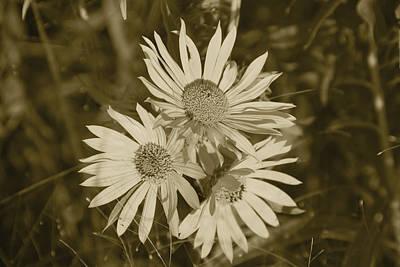 Photograph - Cutleaf Daisy by Charles Beeler