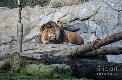 Cute Photograph - Dad And Lion Cub by Mandy Judson
