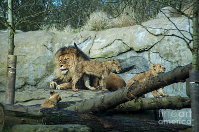 Cub Photograph - Dad And Lion Cubs by Mandy Judson
