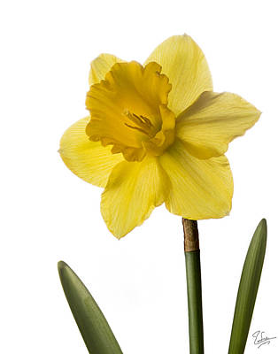 Photograph - Daffodil by Endre Balogh