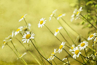 Fine Dining - Daisies by Belinda Greb