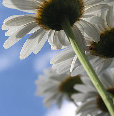 Photograph - Daisies by Maria Schaefers