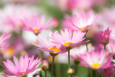 Photograph - Daisies by Michael Goyberg