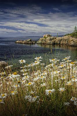 Daisies On Maine's Acadia Shoreline Art Print