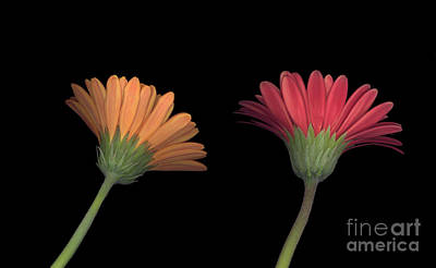 Photograph - 2 Daisies On Stems by Heather Kirk