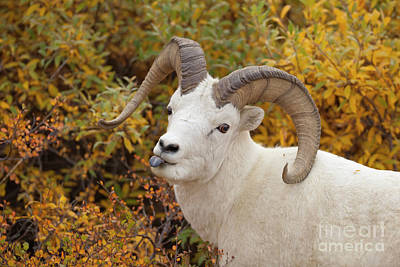 Photograph - Dalls Sheep Ram Denali National Park by Yva Momatiuk John Eastcott