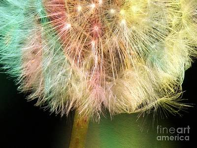 Photograph - Dandelion by France Laliberte