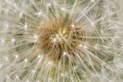 Nature Abstract Photograph - Dandelion Seedhead Noord-holland by Mart Smit