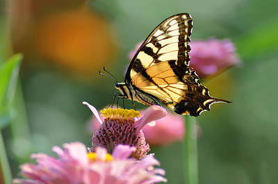 Butterflys Photograph - Delicate Wings by Bill Cannon