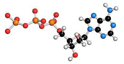 Triphosphate Photograph - Deoxyadenosine Triphosphate Molecule by Molekuul