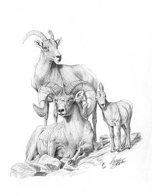 Drawing - Desert Bighorns by Darcy Tate