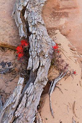 Desert Indian Paintbrush Flowers Print by Chuck Haney