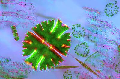 Desmid And Dictyosphaerium Green Algae Art Print by Marek Mis