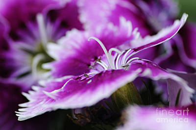 Photograph - Dianthus by Larry Ricker