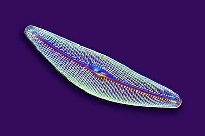 Phytoplankton Photograph - Diatom by Frank Fox