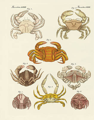 Blue Crab Drawing - Different Kinds Of Crabs by Splendid Art Prints