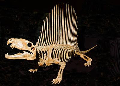 Photograph - Dimetrodon Skeleton by Millard H. Sharp