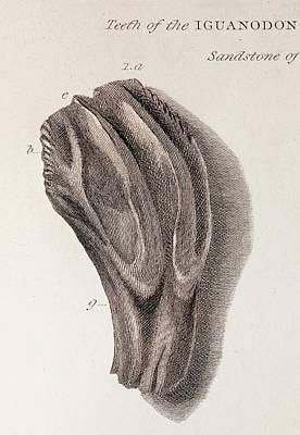 Discovery Of Iguanodon Fossil Teeth Art Print by Paul D Stewart