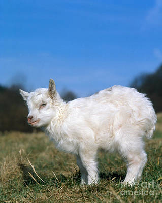 Photograph - Domestic Goat by Hans Reinhard