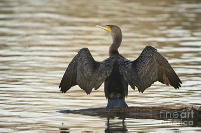 Phalacrocorax Auritus Photograph - Double-crested Cormorant by John Shaw