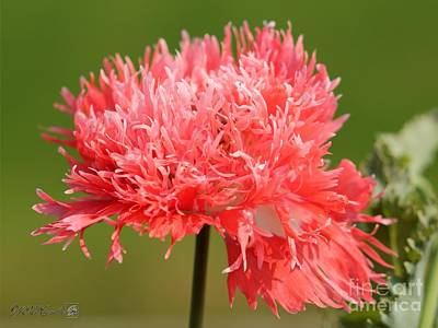 Photograph - Double Poppy Named Pink Fizz by J McCombie